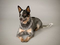 _1019156 Blue Healer (Charles Bonham) Tags: dog portrait bluehealer canine herder herdingdog worker charlesbonhamphotography incompletestrobistinfo removedfromstrobistpool seerule2