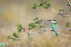 Sacred Kingfisher (www.KarlSeddon.com) Tags: sacredkingfisher kingfisher wa australian wildbird