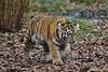 here he comes (Hugo von Schreck) Tags: hugovonschreck tiger cat katze animal tier outdoor canoneos5dsr onlythebestofnature fantasticnature
