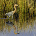 Reddish Egret Reflection