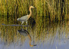 Reddish Egret Reflection (C. P. Ewing) Tags: bird birds avian egret reddish red reflection animal animals all beautiful water weeds grass sky nature natural outdoor outdoors landscape flora fauna