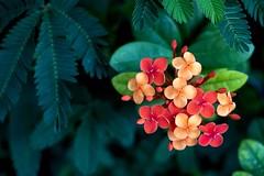 Ixora Chinensis (AdrianoSetimo) Tags: ixora flower flor planta plant green red verde vermelho olympusomdem10 olympusem10 olympusmzuikodigitaled1240mmf28pro olympus1240mm jardim garden nature petrópolis macro detail detalhe ngc
