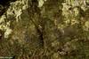 Common Mist Frogs - Litoria rheocola (Nic Crampton) Tags: litoriarheocola litoria treefrog hylidae commonmistfrog mistfrog northqueensland tropicalnorthqueensland farnorthqueensland wettropics cairns frogphotography frog amphibian wildlifephotography wildlife