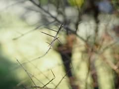 Winter (vahiinee) Tags: nature naturefocus winter hiver naturemorte olympus olympuspen olympuscamera getolympus garden green mzuiko45mm mzuiko45 plante penepl7 thorn thorns spine bokeh beyondbokeh bokehbeyond epl7