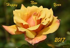 Happy New Year (Eleanor (No multiple invites please)) Tags: explore rose yellow belleepoch regentspark nikond7200 london june2016 coth5
