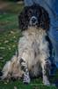 """""""Ozzy"""" the Sprocker (Digidiverdave) Tags: davidhenshaw nikon5300 shire shropshire sprocker animal canine dog gundog henshawphotographycom pet workingdog"""