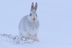 Mountain Hare (Ally.Kemp) Tags: mountain hare hares scotland scottish lepus timidus white snow 2017 winter highlands wild wildlife