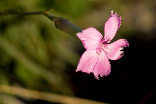 Punta Campanella - Garofano selvatico / Woodland Pink