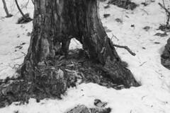 Through (brucetopher) Tags: hollow tree trunk window door arch snow forest floor ground winter cold black white blackandwhite bw blackwhite monochrome contrast tone tones