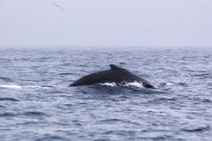 the hump (BarryKelly) Tags: humpback whale ireland wexford sea ocean irish