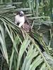 IMG_9089 (dstylebda) Tags: colonpanama gatunlake tamarins howlermonkeys sloth