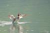 Fuut / Rotselaar Belgie (Jul Pitbull) Tags: fuut kuikens bootjegopro bootjeafstandbediening ganzen vliegendeeenden