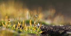 wall-flora (bugman11) Tags: macro moss canon bokeh nature drop drops droplet droplets water winter nederland thenetherlands 100mm28lmacro 1001nights 1001nightsmagiccity thegalaxy