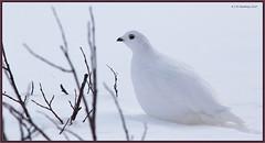 White-tailedPtarmigan_6D_2174 (CrzyCnuk) Tags: whitetailedptarmigan ptarmigan banff alberta canada canon canon6d wildlife icefieldsparkway