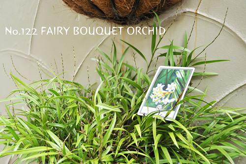 no.122fairybouquetorchid