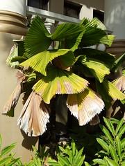 Fan palm: Potassium deficiency (Scot Nelson) Tags: palm potassium deficiency fan leaf scorch marginal older leaves