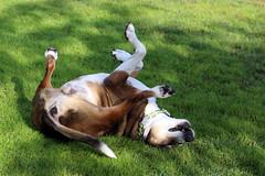 Feels so Good (Wonder Woman !) Tags: dog dippy pet rolling happy