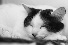 Do black-and-white cats dream in color? -[ Happy Caturday ]- (Carbon Arc) Tags: happycaturday caturday cat feline furball fuzzball fur resting cowcat black white monochrome