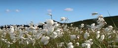 Cotton Grass growing on Dartmoor, UK. (ronalddavey80) Tags: cotton grass dartmoor landscape moorland canon 70d eos efs1585