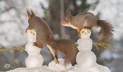 play with the snowman (Geert Weggen) Tags: red nature animal squirrel rodent mammal cute look closeup stand funny bright sun backlight ice winter snow christmas holiday santa play nose fun joke snowman run head geert weggen bispgården hardeko ragunda jämtland sweden