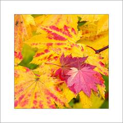 Leaves at Westonbirt (Steve-T201) Tags: westonbirt nationalarboretum leaves acers colour autumn