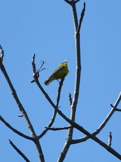 Blue-winged Warbler 3