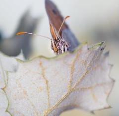 Mariposa en una hoja (Eduardo Estllez) Tags: espaa naturaleza color macro primavera animal natural cara ojos antena mariposa posada pequea frente parada insecto dehesa nadie extremadura caceres macrofotografia cuadrado iluminada montehermoso entomologia eduardoestellez estellez