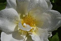 Refreshing rain (cdwpix) Tags: dog white rain rose shower petals