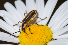 Bug Macro (Scott Michaels) Tags: macro nikon kirk d600 nikon105mmvr flashbracket tc17 sb400 sc28