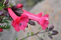 Flor de la Cantuta (Jose Alarco) Tags: de la flor kenko cantuta iscata ccopamaya
