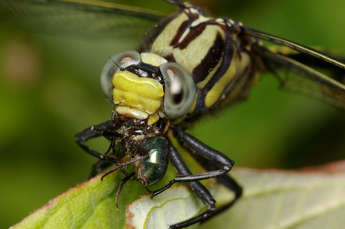 """Om! Nom! Nom! Nom!"" (Clubtail Dragonfly and Green Bottle Fly Prey)"