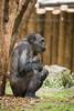 2015-05-29-14h41m40.BL7R1497 (A.J. Haverkamp) Tags: germany zoo momo gorilla duisburg nordrheinwestfalen ayo dierentuin westelijkelaaglandgorilla canonef100400mmf4556lisusmlens pobstuttgartgermany pobduisburggermany dob03061982 httpwwwzooduisburgde dob27052015