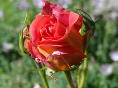 "Rose (Gartenzauber) Tags: floralfantasy macroelsalvador natureselegantshots mimamorflowers saariysqualitypictures thebestofmimamorsgroups ""doublefantasy"" mixofflowers rosesforeveryone magicmomentsinyourlife onlythebestofflickr"