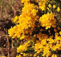 Gorse in bloom (Vee- back at last :-)) Tags: uk england wales flora may 2015 isleofanglesey nikond300 shootaboot shootaboot2