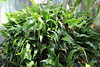 IMG_4524 (cheryl's pix) Tags: california berkeley botanicgarden botanicalgardens botanicalgarden botanicgardens berkeleyca berkeleybotanicalgarden ucbotanicalgarden universityofcaliforniabotanicalgarden universityofcaliforniabotanicalgardenatberkeley
