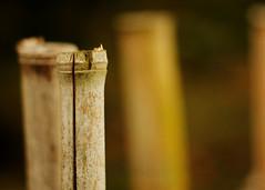 Bamboo (Diego Campot) Tags: nature bokeh bamboo