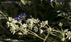 """Mountain Death Camas • <a style=""""font-size:0.8em;"""" href=""""http://www.flickr.com/photos/63501323@N07/20151074085/"""" target=""""_blank"""">View on Flickr</a>"""
