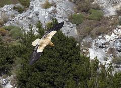 Percnoptre (JFB31) Tags: vautour percnoptre {accipitriformes} {accipitrids} vulture} percnopterus} {egyptian {neophron