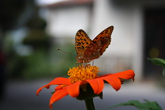Messico in cortile (diemmarig) Tags: tithonia tithoniarotundifolia