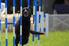 Slalom! (SergeK ) Tags: dog chien smile race run course explore agility concours slalom aac agilité sergek