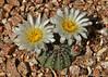 Echinocereus pulchellus ssp. sharpii (l.e.violett) Tags: cactus flower cultivated echinocereus pulchellus sspsharpii