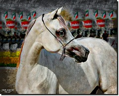TURNING HEAD AROUND  إلتـــــفاتـة (jawadn_99) Tags: explore stalion horse arab horses black white horses22 fantastic supershot scout poster photography flickr favorite art animal raising galope red vivid blue interrestigness vividimagination photoart kuwait arabian gulf