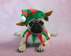 Boo Lefou the Pug Elf Pancake (DaPuglet) Tags: pug dog christmas puppy elf holiday costume funny cute lol dapuglet boothepug pets pugs dogs animal animals pet elves hat coth coth5