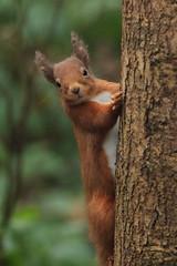 Red Squirrel (Eastern Davy) Tags: redsquirrel wild wildlife outdoor lochleven fife scotland canon 70d 300mm