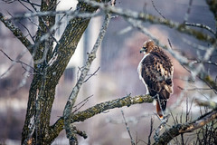 Red Tailed Hawk (Sharky.pics) Tags: january 2017 winter nature wisconsin redtailedhawk nikond7200 waukesha bird sigma150500