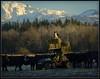 Border Collie Alert! (Ernie Misner) Tags: f8andonesmartdog bordercollie dog cattle roywashington washington farm workingdog erniemisner nikon nik capturenx2 cnx2 d800