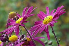PA020068a (Oleg1961) Tags: olympus digital 50mm f2 zuiko macro ed e3 21016 flora drop autumn