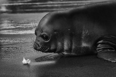 Infatuated with the Feather (SharonWellings) Tags: seal wildlife southgeorgia salisburyplains animals feather blackandwhite