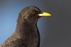 Alpenbergdohle 003 (bertheeb) Tags: alpenbergdohle bergdohle singvogel rabenvogel
