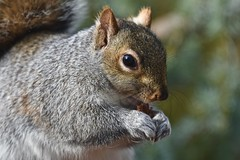 Sunday morning greetings! (ineedathis,The older I get the more fun I have....) Tags: squirrel easterngraysquirrel eating pecans sciurus treesquirrel sciuruscarolinensis animal critter nature winter furry garden nikond750 atlanticweepingcedar needles graysquirrel trough portrait posing profile outdoor whiskers